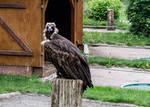 Cinereous Vulture 02