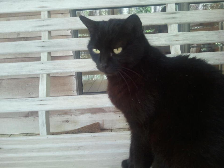 Black Cat by Yume-The-Lynx on DeviantArt