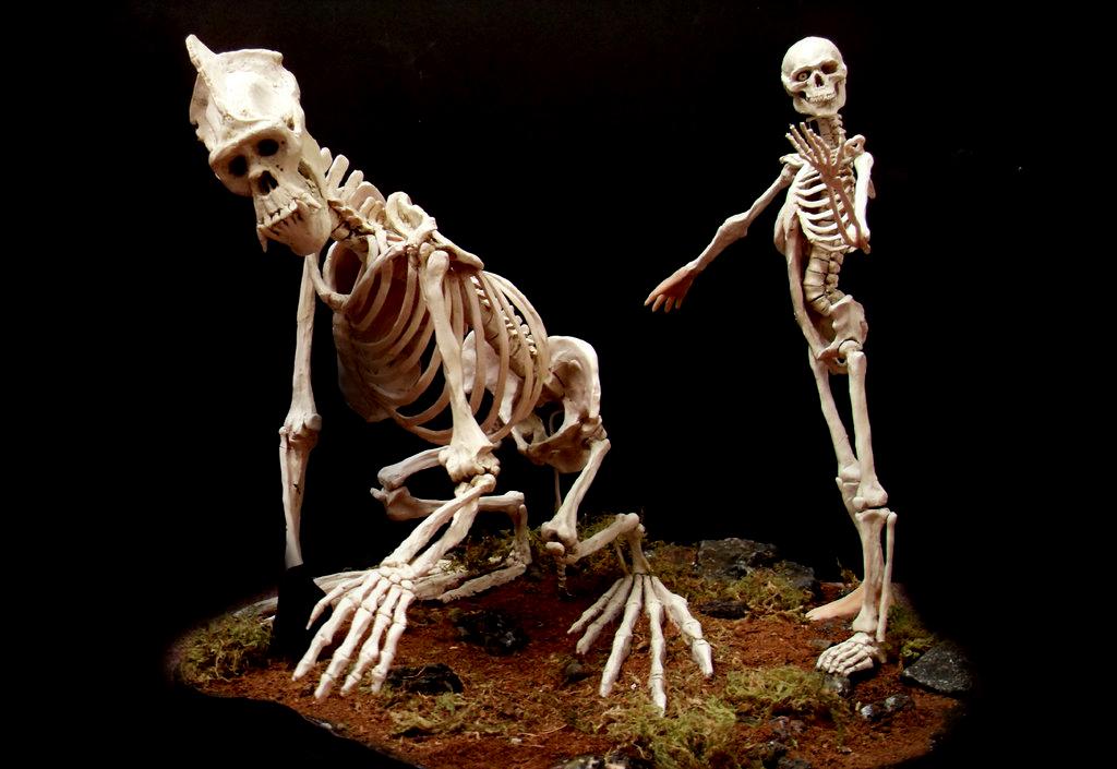 gorilla skeleton vs. human skeleton, Skeleton