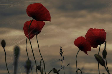 like the poppies... by MonaBe4