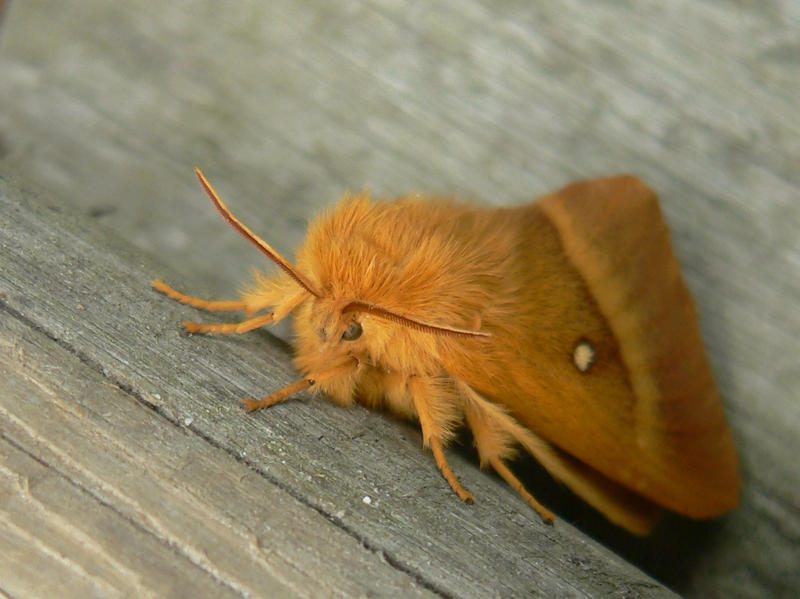 the ginger moth
