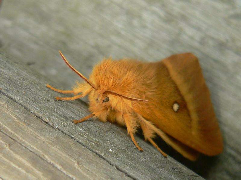 the ginger moth