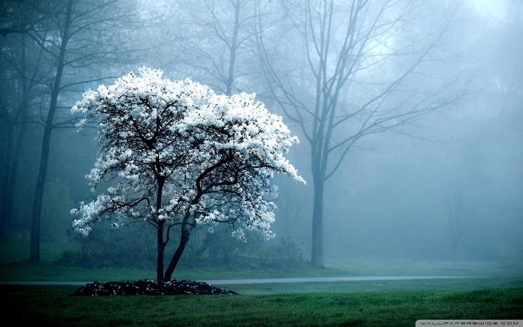 White Magnolia Tree-wallpaper-1920x1200 by DarkEagle2011