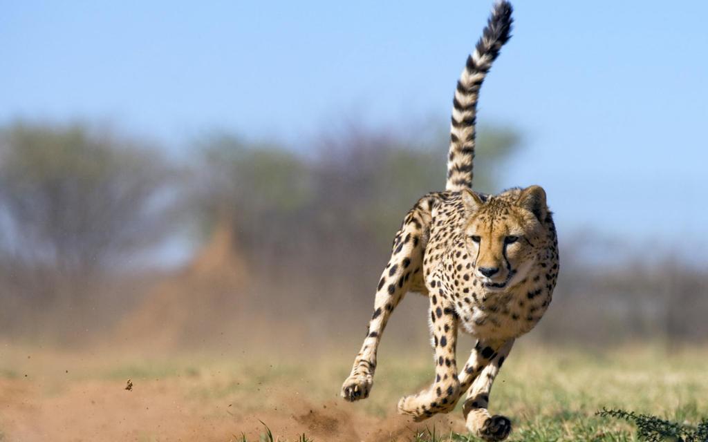 Running Cheetah-wide by DarkEagle2011