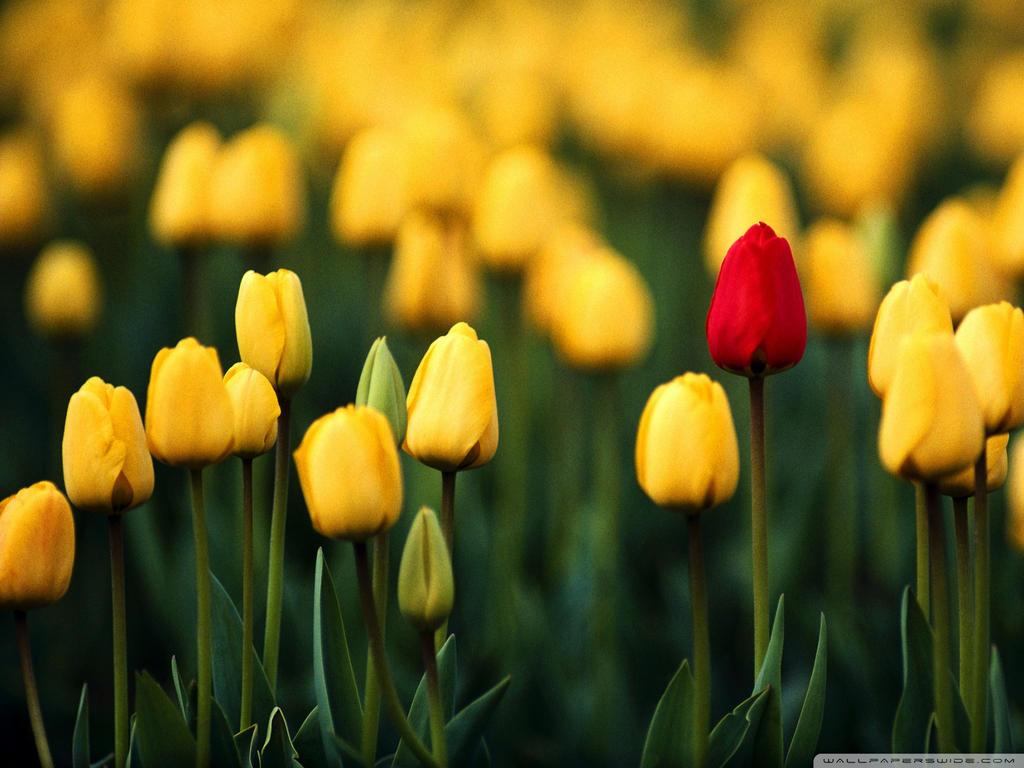 Red Tulip 3-wallpaper-1920x1440 by DarkEagle2011