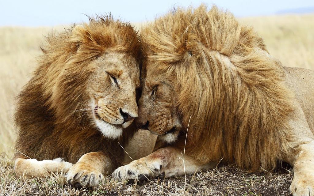 Lions Pair-1920x1200 by DarkEagle2011