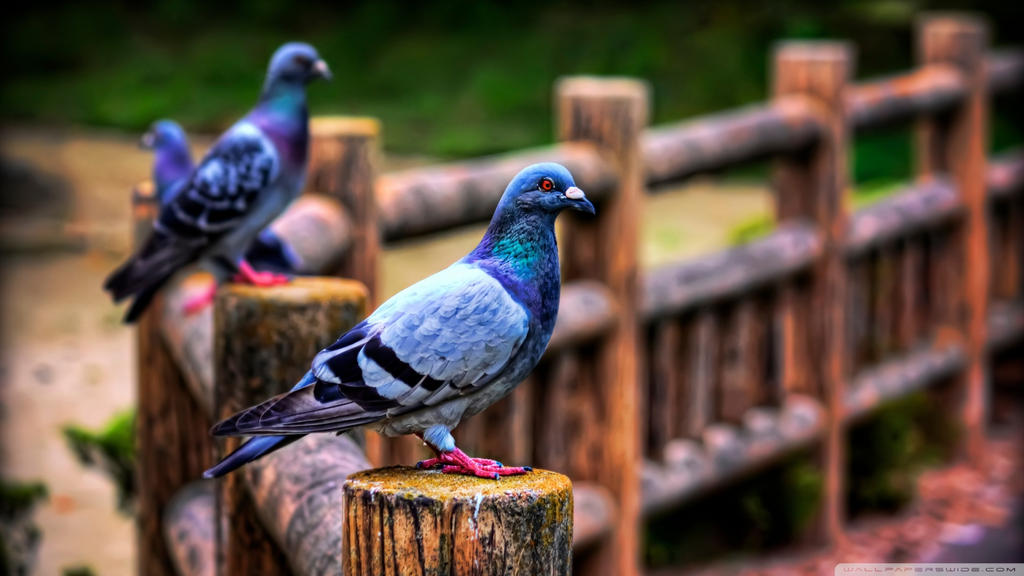 Pigeons-wallpaper-1920x1080 by DarkEagle2011
