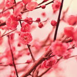 .Plum flower