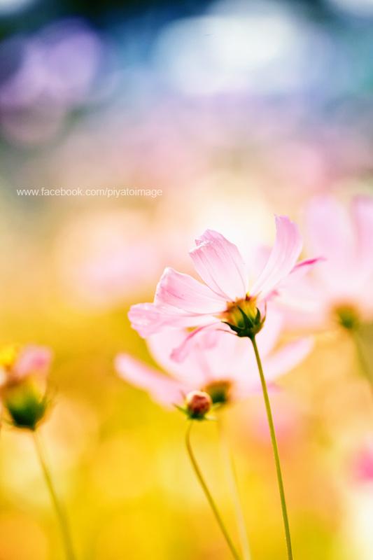 Pink cosmos by piyato