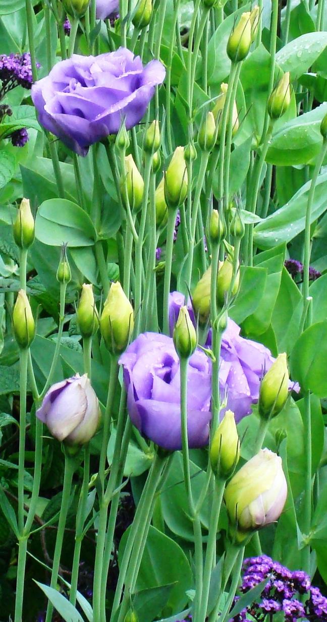 Deviation 015- Violet Roses by MidnightRose425