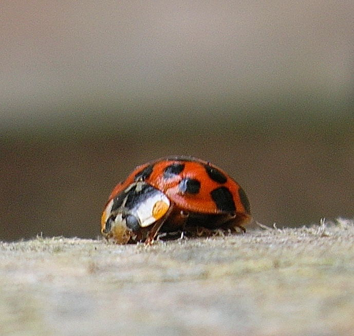 Ladybird by Dan-the-Freak