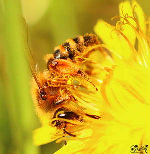 Bee - My blossom dust, everything mine by RaptorXilef