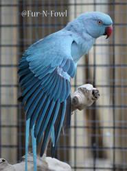 Blue Indian Ringneck by Fur-N-Fowl