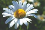 Daisy 9
