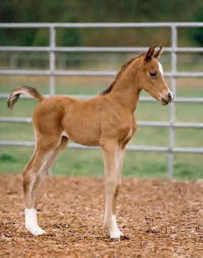 Ficha de Kashir. Chestnut_Arabian_Foal_by_forset123