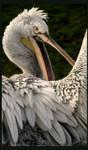 ..:: Pelican't ::..