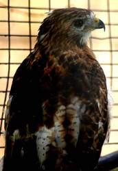 Red Hawk by FluorescingSpider