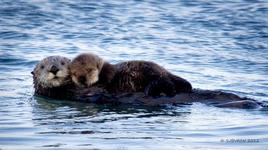 An Otter's Love by sjbvrsn