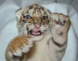 baby tiger by Katy-Fried-Chicken