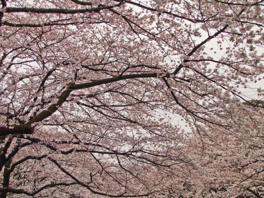 Cherry tree by FubukiNoKo