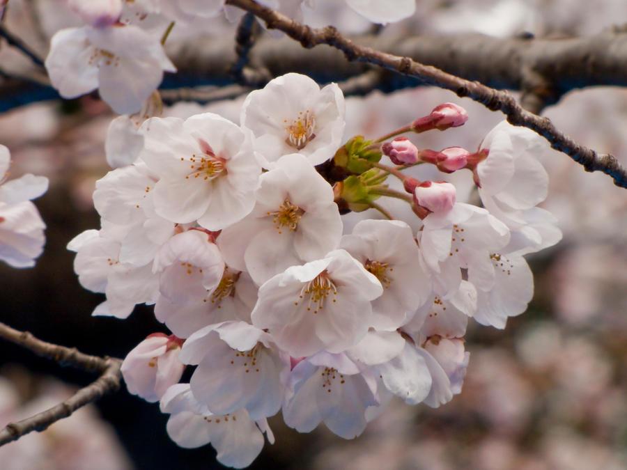 Cherry flowers 3 by FubukiNoKo