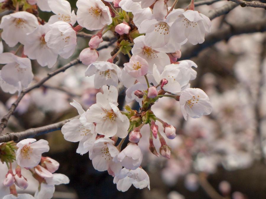 Cherry flowers 4 by FubukiNoKo