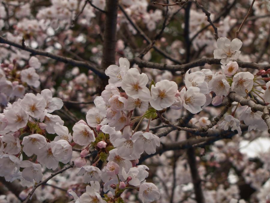 Cherry flowers 5 by FubukiNoKo