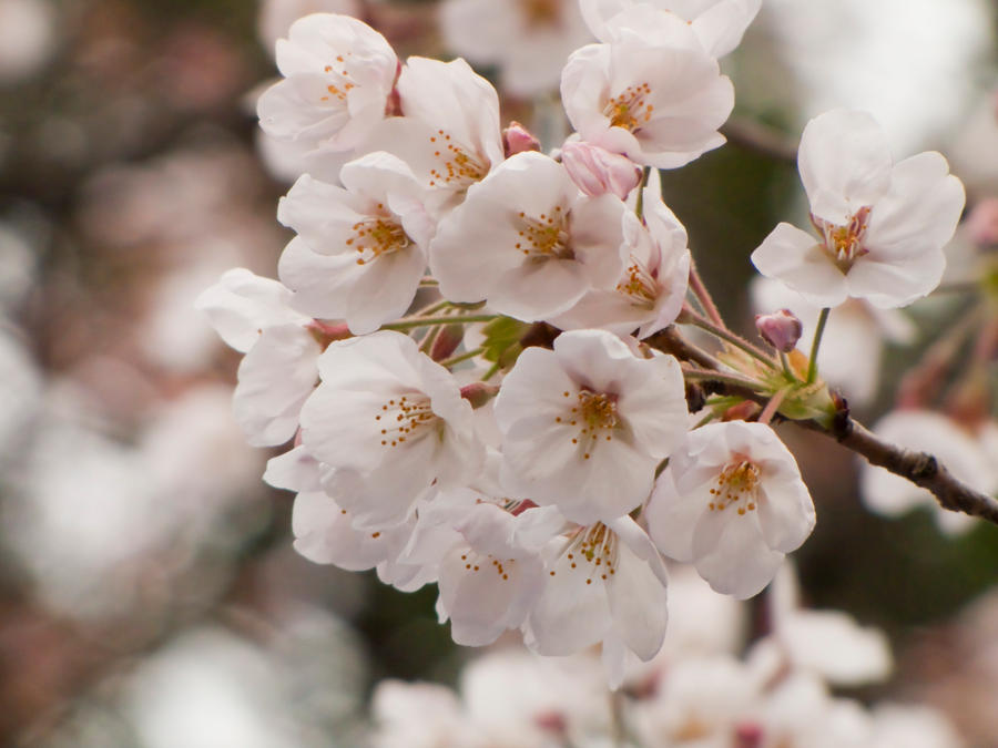 Cherry flowers 6 by FubukiNoKo
