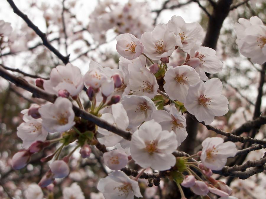 Cherry flowers 8 by FubukiNoKo