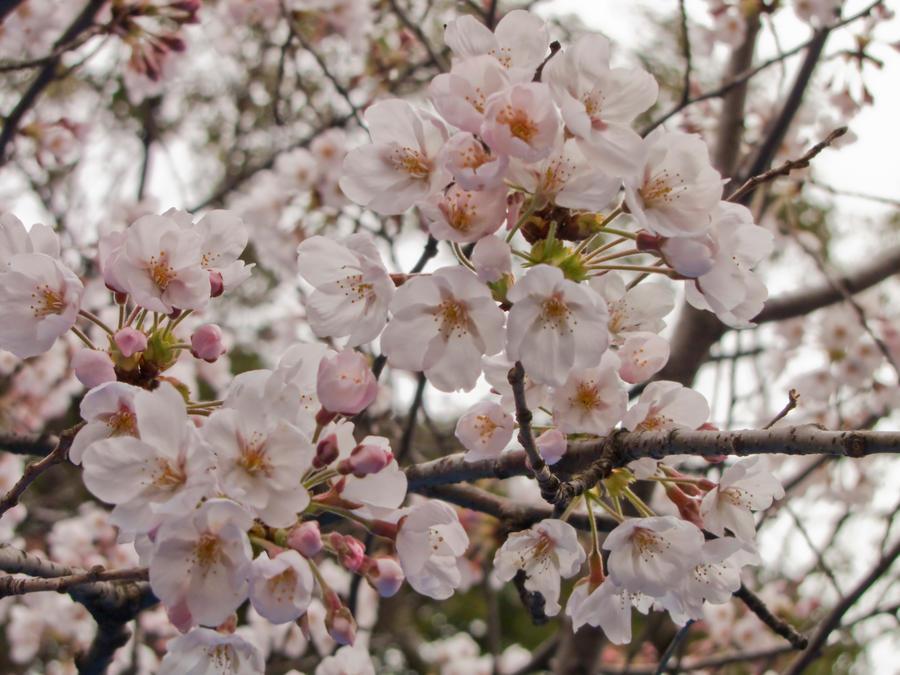 Cherry flowers 9 by FubukiNoKo