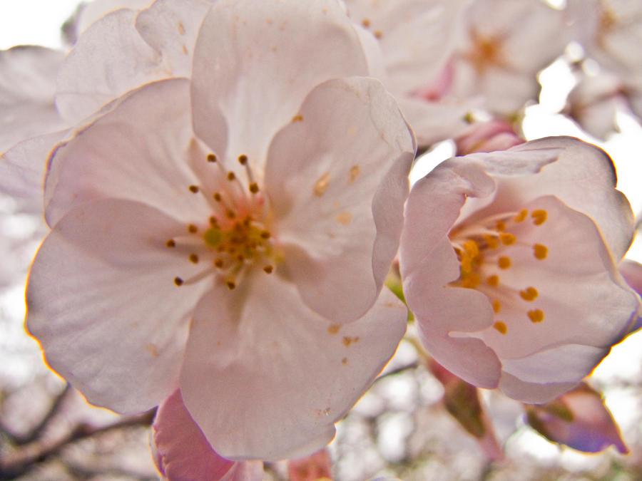 Cherry flowers 10 by FubukiNoKo