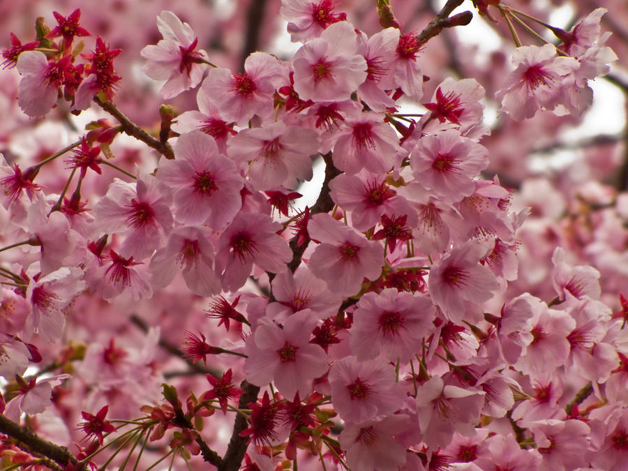 pink cherry flowers 3 by FubukiNoKo