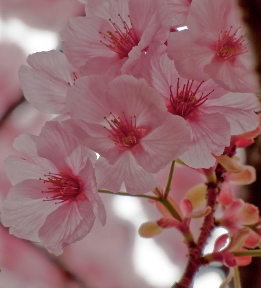 pink cherry flowers 4 by FubukiNoKo