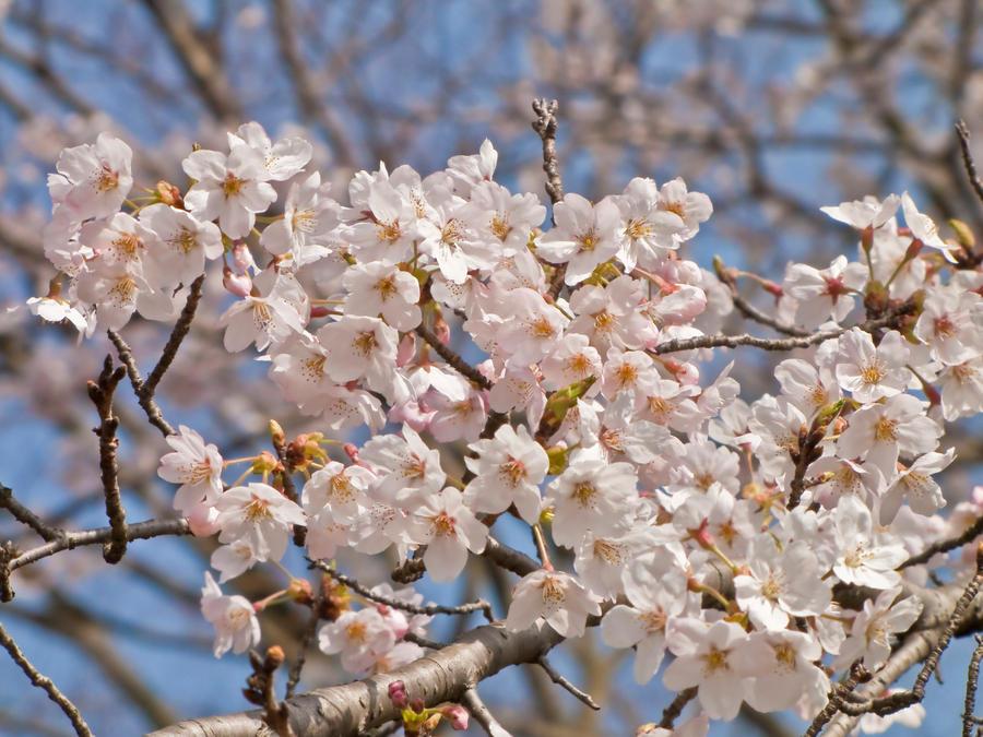 sakura 6 by FubukiNoKo