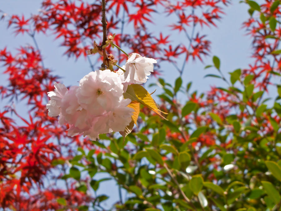 Cherry flowers 14 by FubukiNoKo