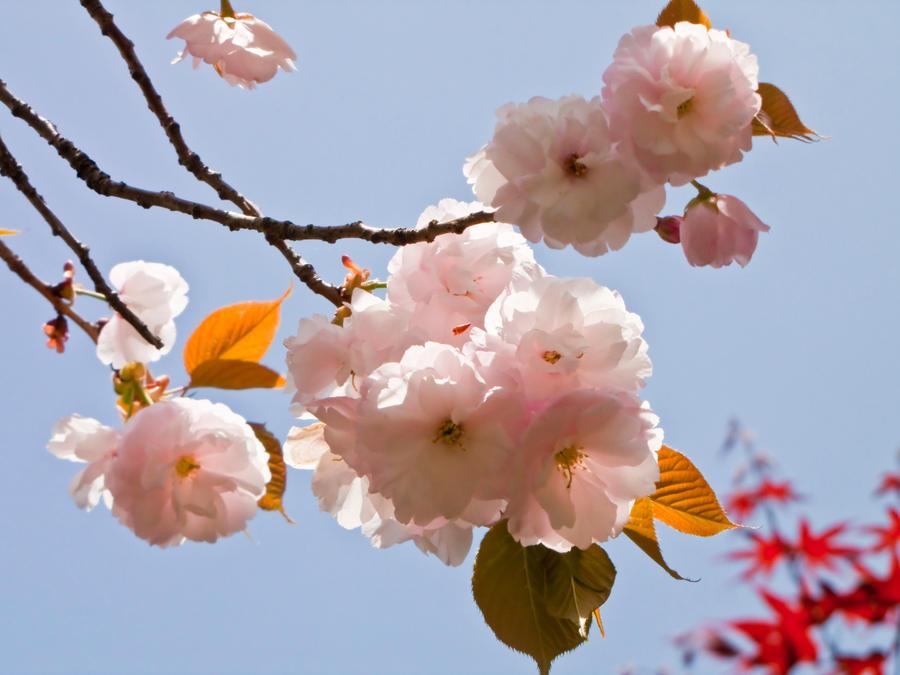 Cherry flowers 15 by FubukiNoKo