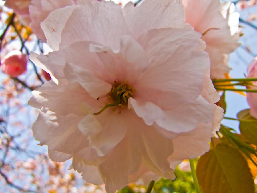 Cherry flowers 17 by FubukiNoKo