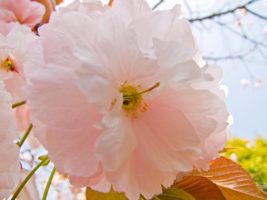 Cherry flowers 18 by FubukiNoKo