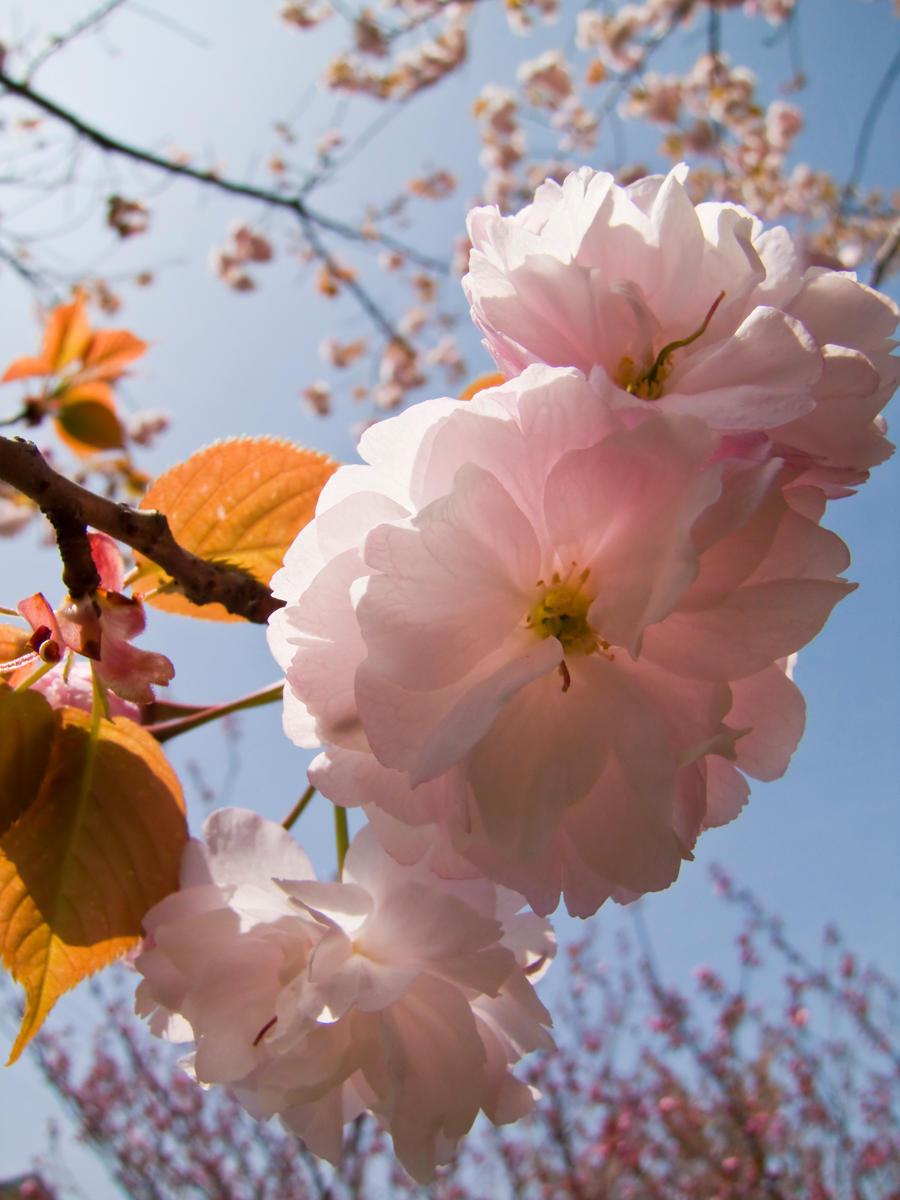 Cherry flowers 21 by FubukiNoKo