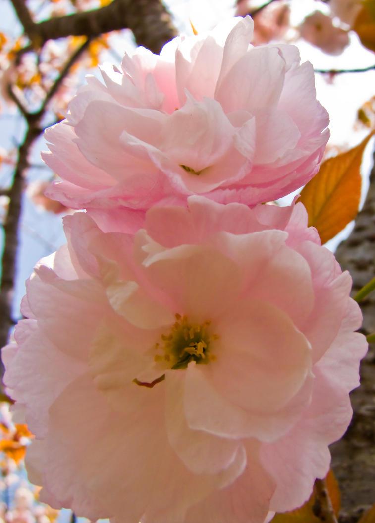 Cherry flowers 23 by FubukiNoKo