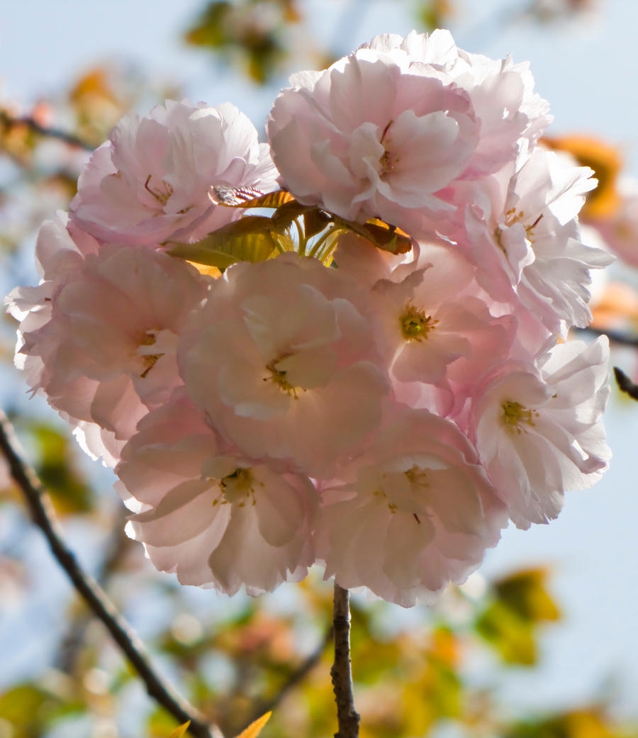 Cherry flowers 24 by FubukiNoKo