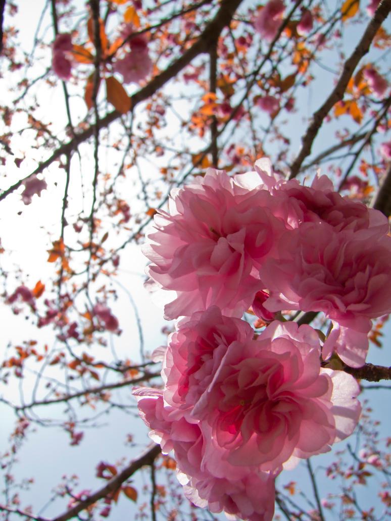 Cherry flowers 25 by FubukiNoKo