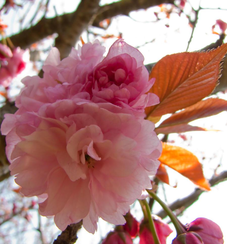 Cherry flowers 26 by FubukiNoKo