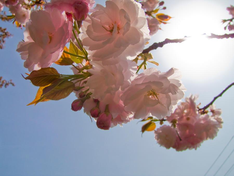 Cherry flowers 27 by FubukiNoKo
