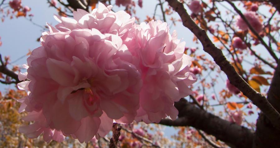 Cherry flowers 28 by FubukiNoKo