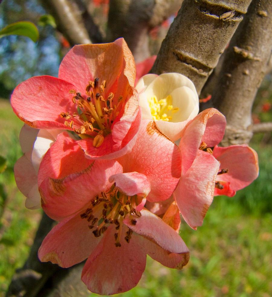 plum blossom 1 by FubukiNoKo