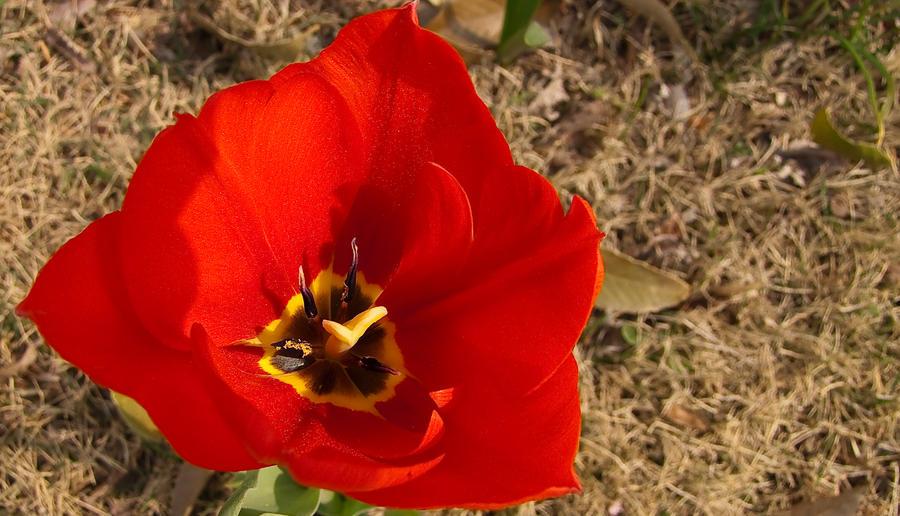 tulip by FubukiNoKo