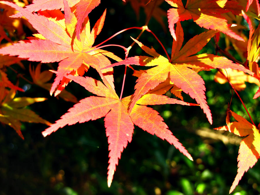 maple leaves 2 by FubukiNoKo