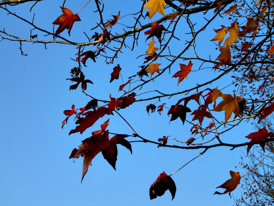 maple leaves 3 by FubukiNoKo