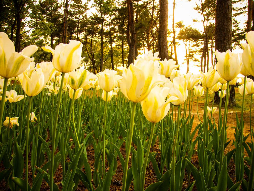 tulips 3 by FubukiNoKo